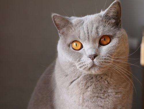 Pisica gri cu ochi galben care are raceala