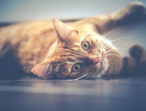 Pisica tigrata pe pardoseala