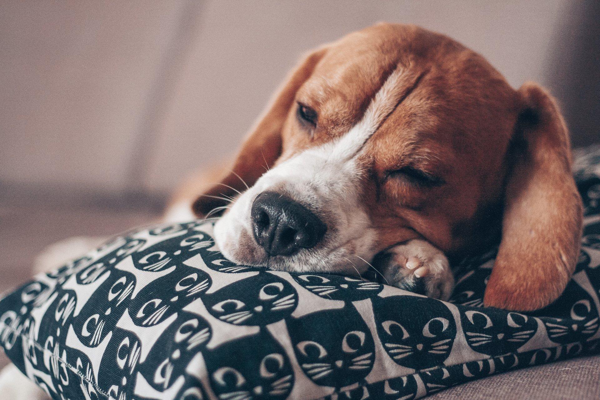 articulația doare câinele)