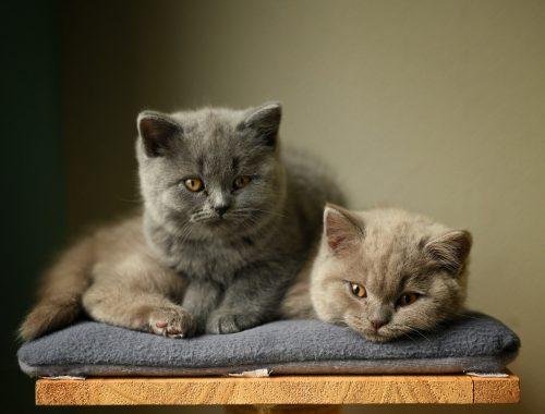 doua pisici pe un scaun cu patura gri