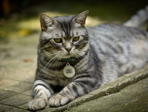 Cât trebuie să mănânce o pisică castrată