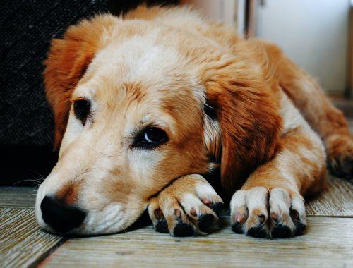 Stimularea poftei de mâncare la câini. Soluții practice pentru lipsa de apetit la patrupezi