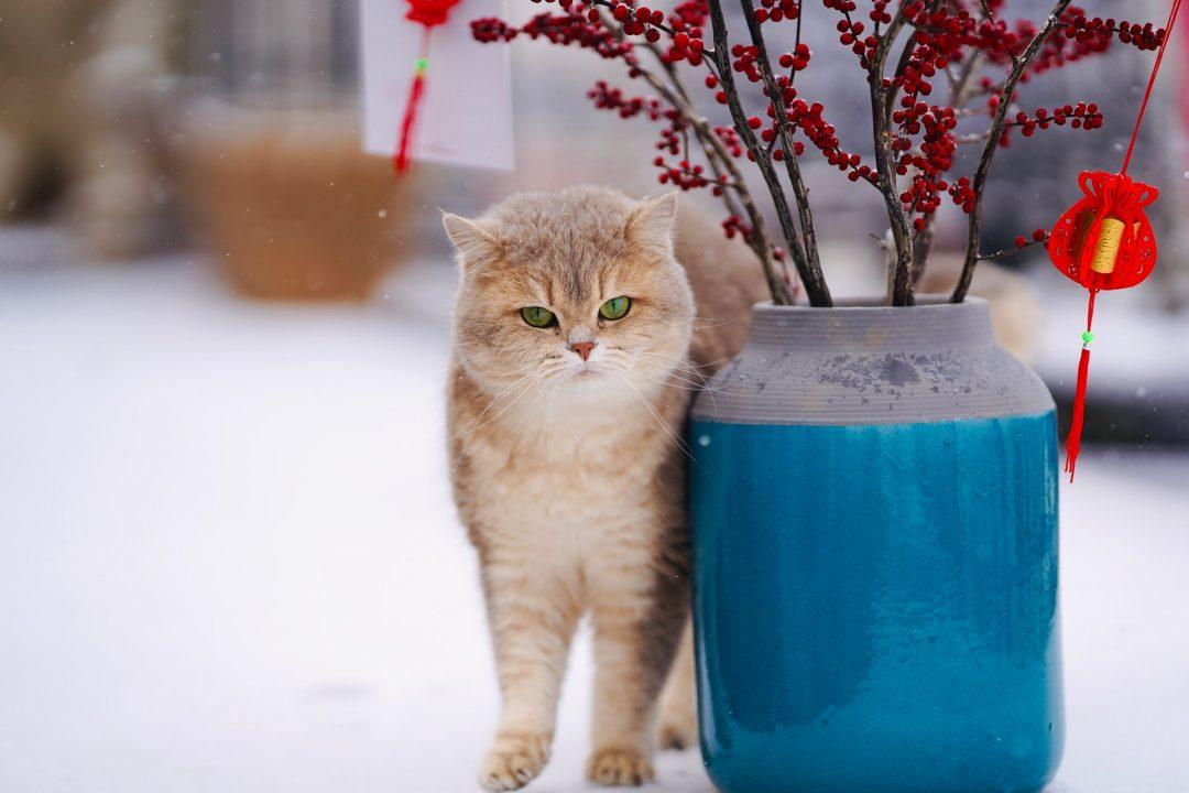 pisica maro cu alb langa un ghiveci de blori mare, albastru cu gri