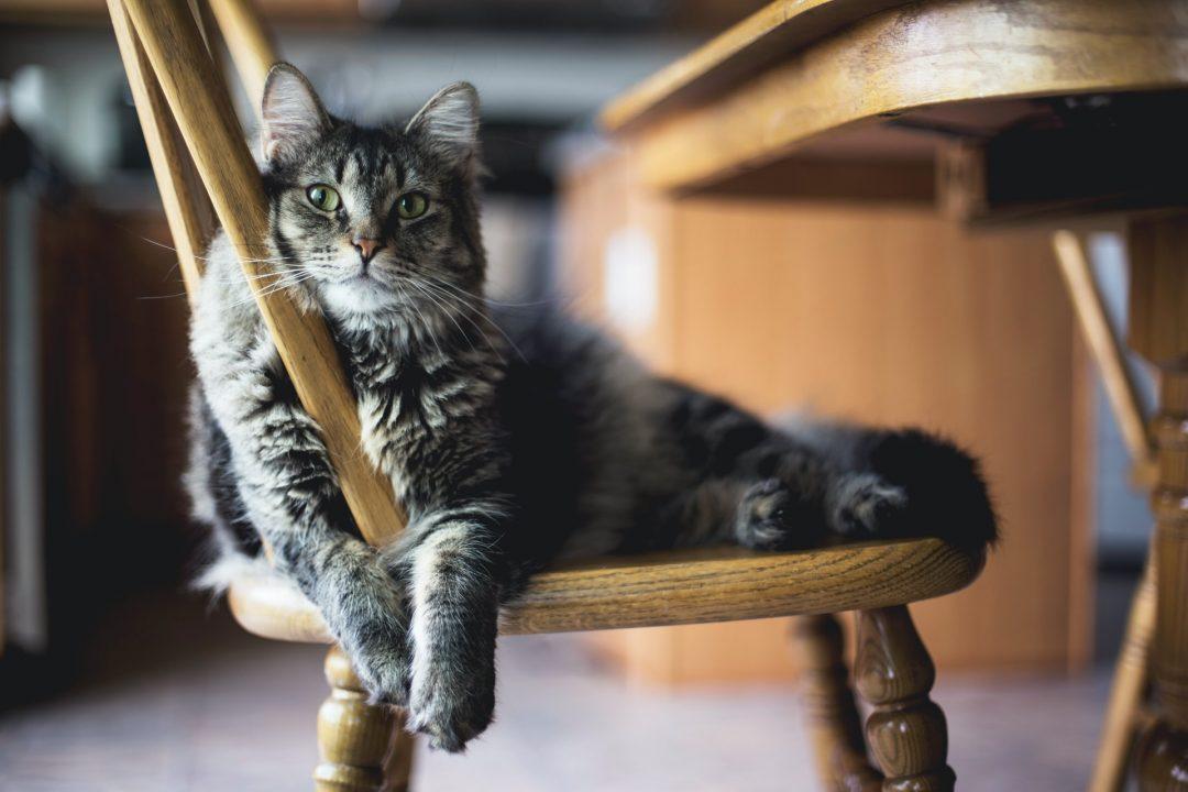 pisica metis gri cu negru si ochi verzi, tolanita pe un scaun maro