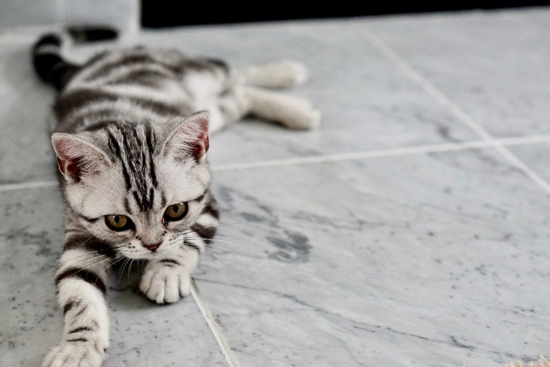 pisica in dungi, negru, cu alb si gri, pe gresie in nuante de cenusiu