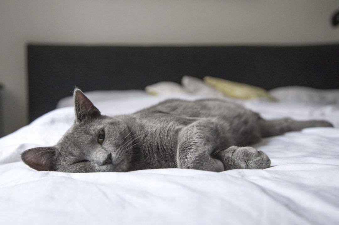 pisica gri pe un pat cu lenjerie alba